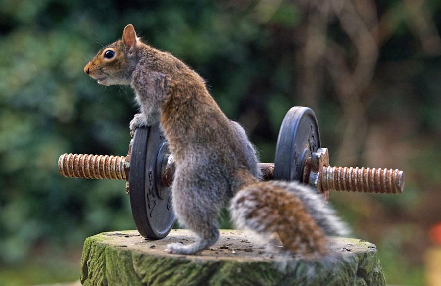 大力士小松鼠挑战自我,轻松举哑铃大秀肌肉
