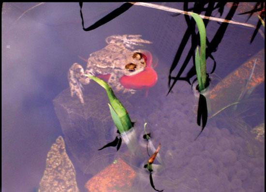 喜感的一幕 青蛙搭金鱼的便车