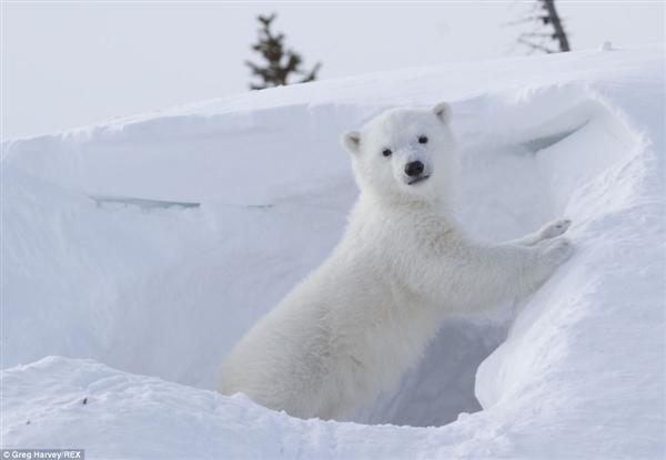 史上最能卖萌北极熊宝宝 会作揖问好