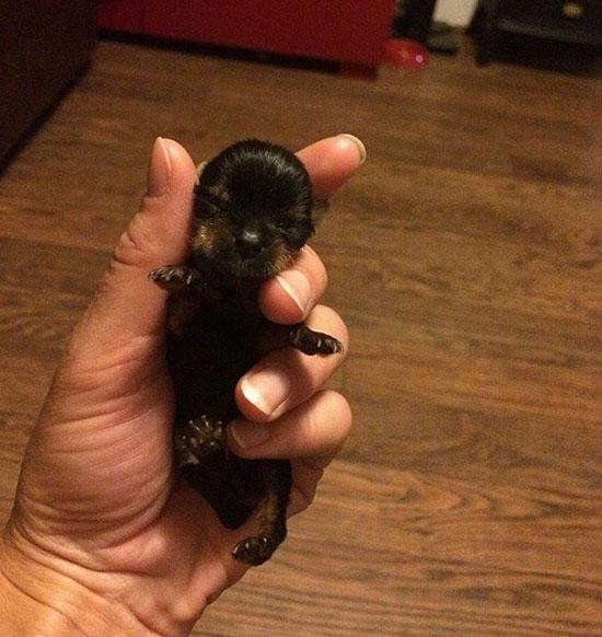 世界上最小狗身高仅5厘米 体重仅170克