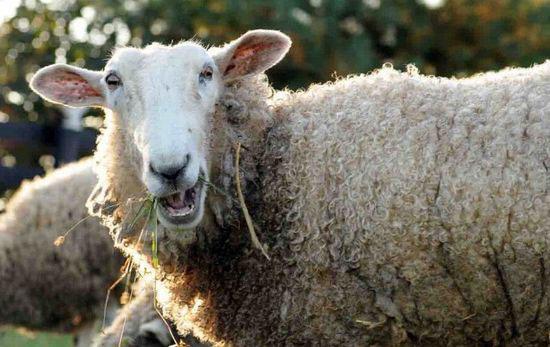 英国一农场羊群误食大麻后集体high