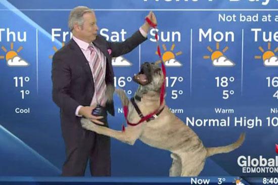 加拿大搞笑天气预报员带小狗播节目喜味足