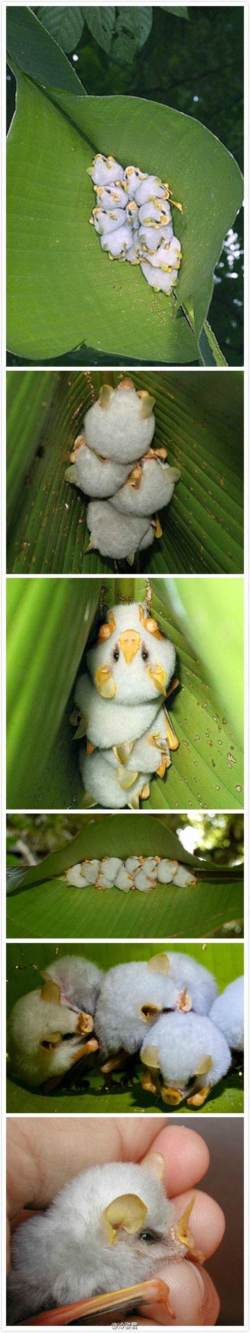 世界上最萌的蝙蝠 像一堆小汤圆