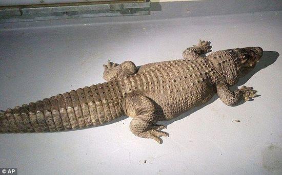 美一家庭养巨鳄37年当宠物 邻居投诉被当局带走