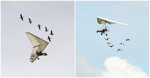 """法国男子竟与天鹅一起飞翔了15年,被称为""""鸟人"""""""