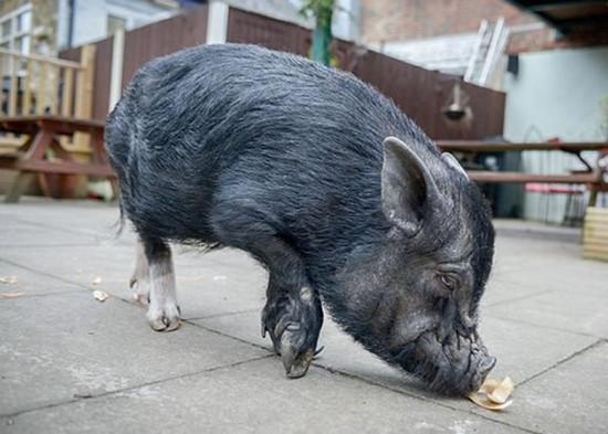 小猪入酒吧偷喝啤酒和偷吃花生 主人决定让它戒酒