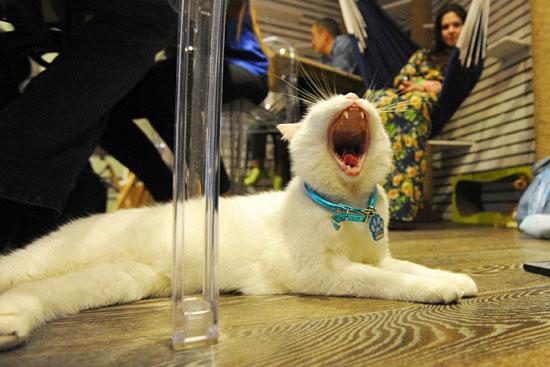 莫斯科开首家猫咪咖啡厅 为喵星人量身打造