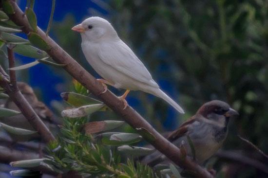 澳稀有麻雀因患白化病被同类排斥和拒绝交配