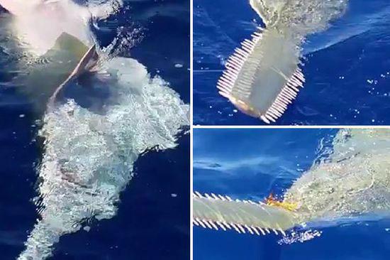 美国佛州水域惊现4.2米长锯鳐 锯状鼻子和牙齿照片中清晰可见