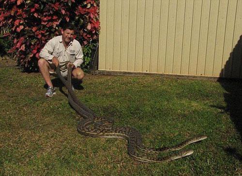 两母蟒蛇为争交配权在居民屋顶打架 两公蟒蛇袖手旁观