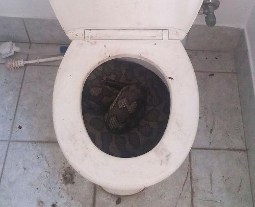 澳男子家中马桶藏3米长蟒蛇 最终拆开马桶座将其放生