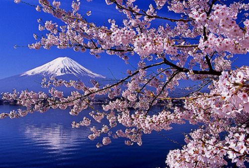 春暖花开,又到了樱花盛开的季节