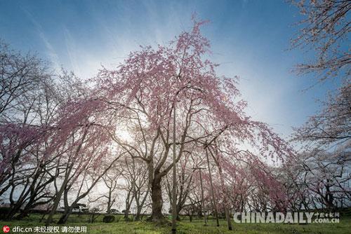 日本又到樱花季,意大利摄影师镜头下的极致盛景