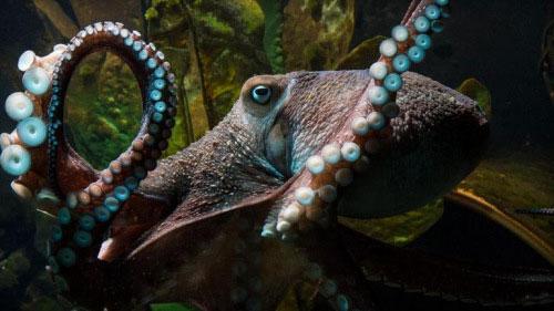 """新西兰章鱼上演""""越狱记"""" 想看看外面的世界"""