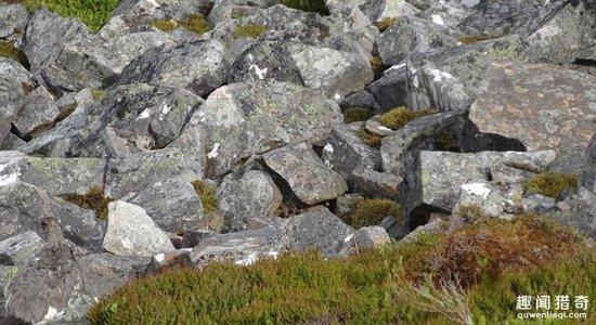 考眼力时刻到!你能发现这堆石块中有只松鸡吗?