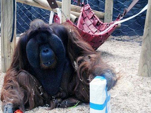英国一大猩猩隔着玻璃抚摸孕妇肚子并献吻 萌翻网友