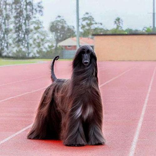 世界上最漂亮的狗长这样!